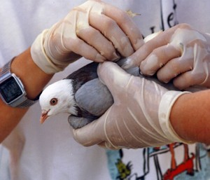 Pigeons are kept in boxes and then launched one by one into the air. (Image courtesy of The Humane Society of the United States.)
